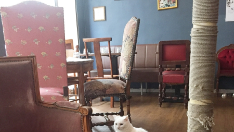 Café des Chats in Paris, the first in France. The cat is called Izmir