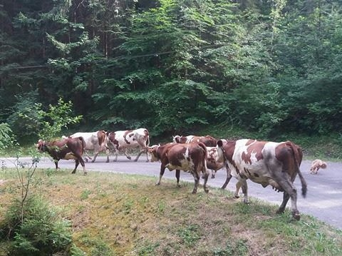 Dairy cows on road