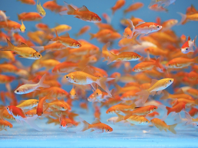 Paris Aquarium warns of goldfish 'slow death'