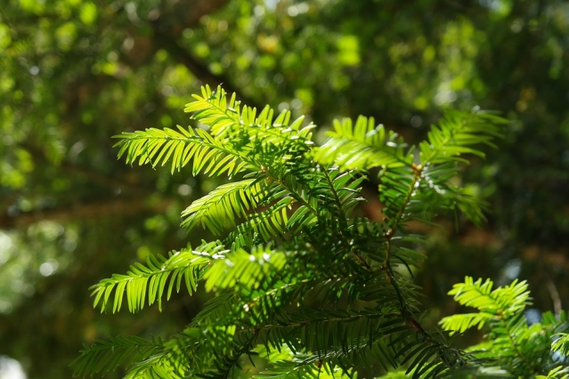 Bright green yew needles