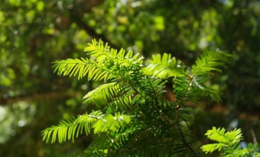 Bright green yew needles