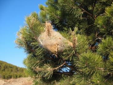 Large fluffy mass in pine tree contains caterpillars