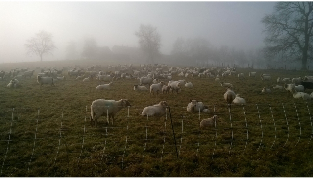 Sheep in a field in the Dordogne department of southwest France