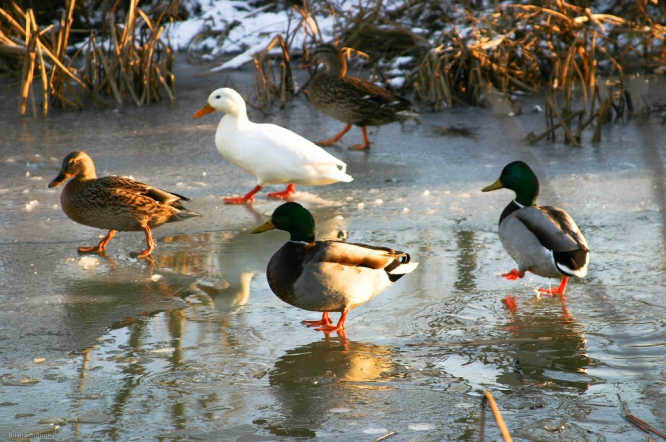 Ducks on an icy lake in winter