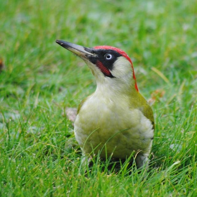 A European green woodpecker