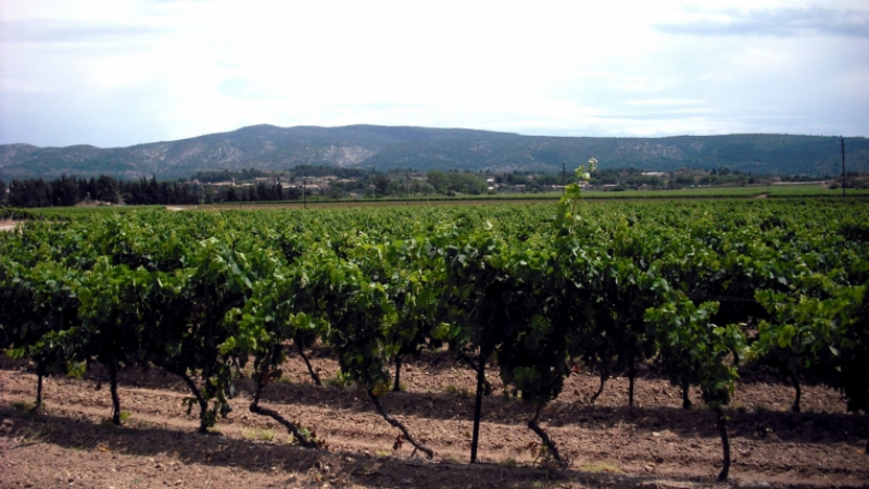 vineyards in the Aude