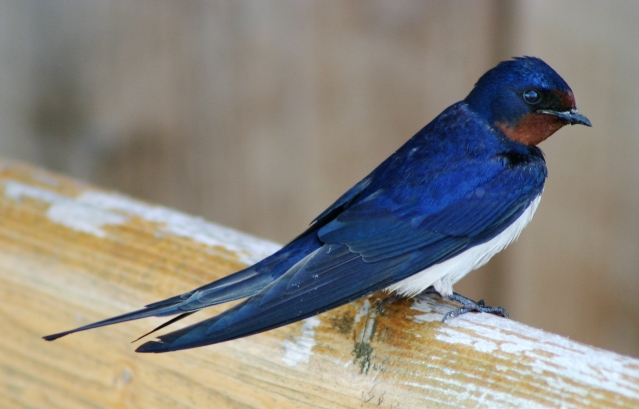A blue bird with white chest and red throat