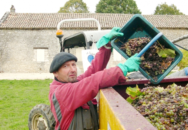 Grape harvest in France