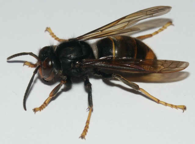 asian hornet with yellow bottom legs
