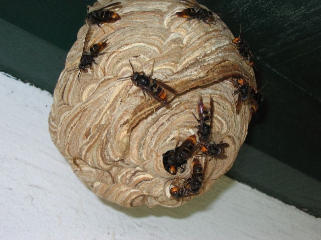 Asian hornets on their nest