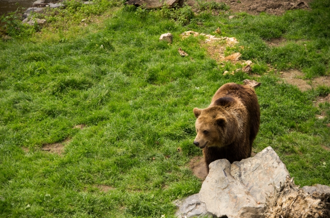 brown bear by a rock