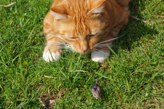 Ginger cat staring at a mouse in the grass