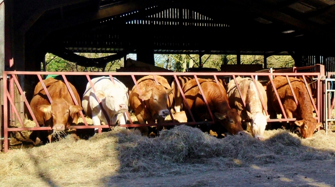 cattle feeding