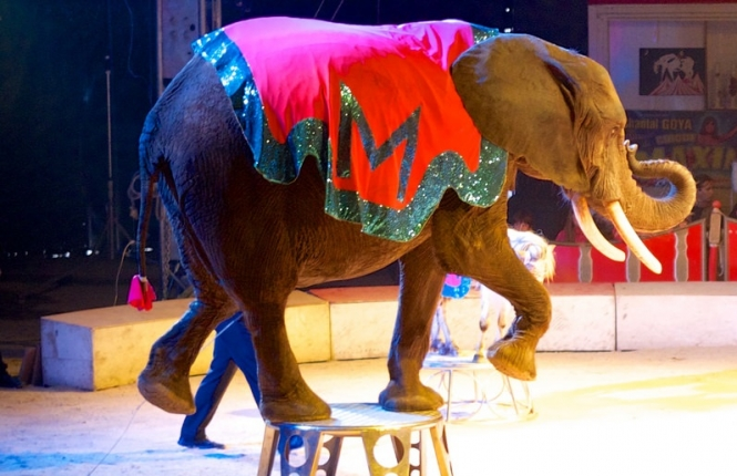 An elephant performing in a circus