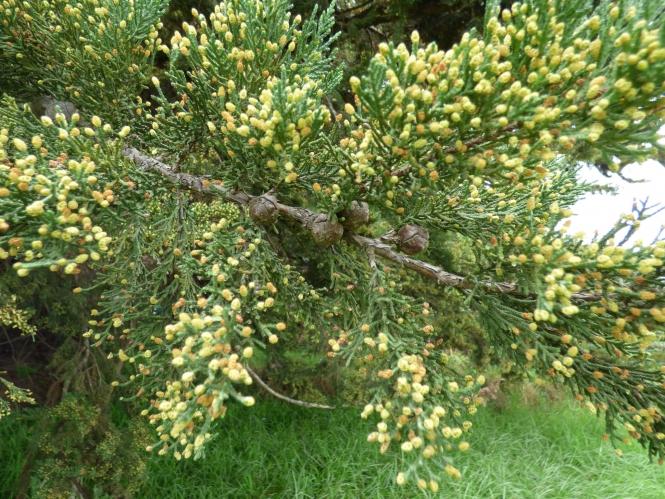 Pollen cones on a cypress tree