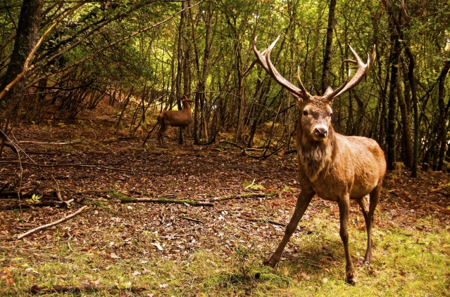 An adult male deer in the woods