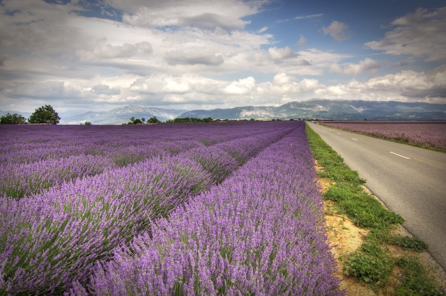 A lavender field in Provence with a view of mountains in the distance