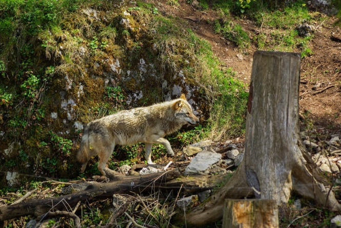 A wolf walking along an exposed tree route in eastern France