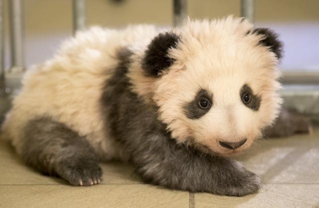 baby panda Yuan Meng